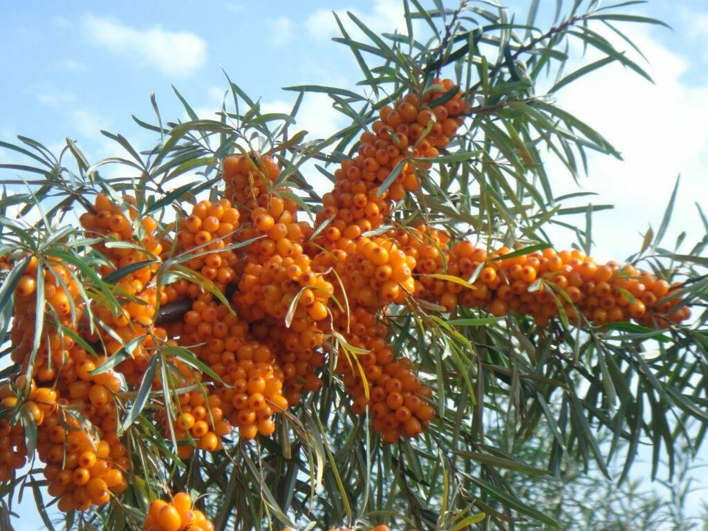 catina-alba-fructe