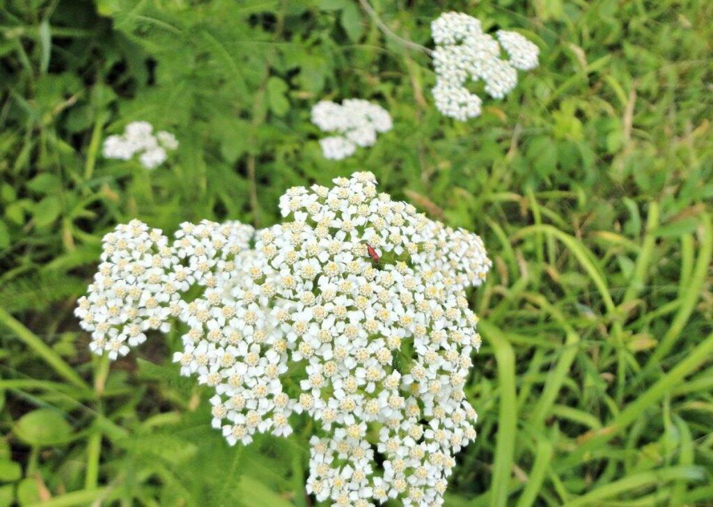 coada-soricelului-flori