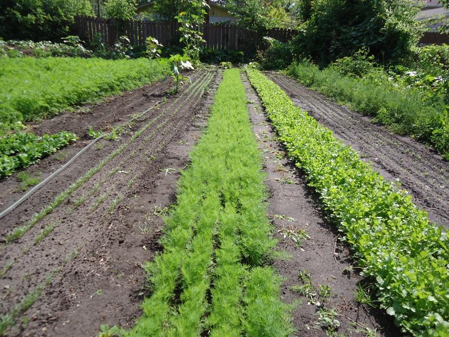 cultivare-marar