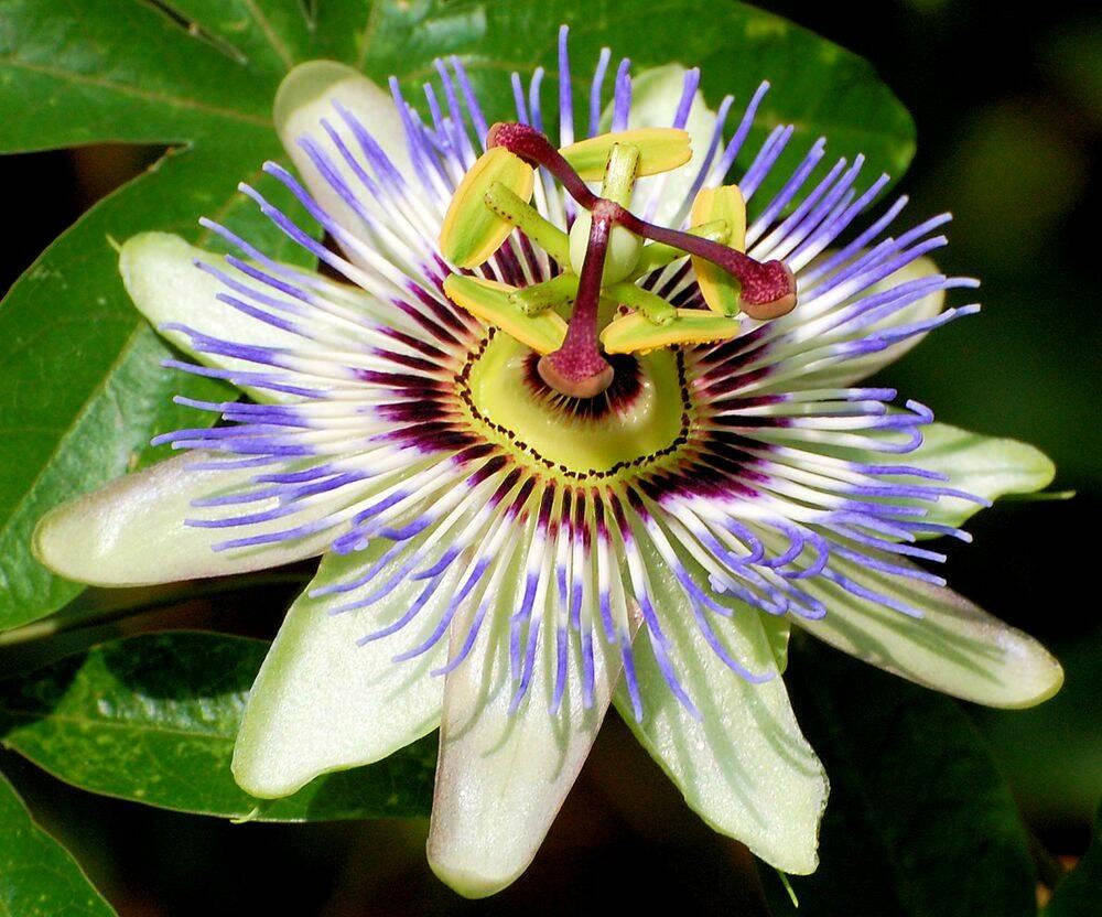 floara-pasiunii-albastra