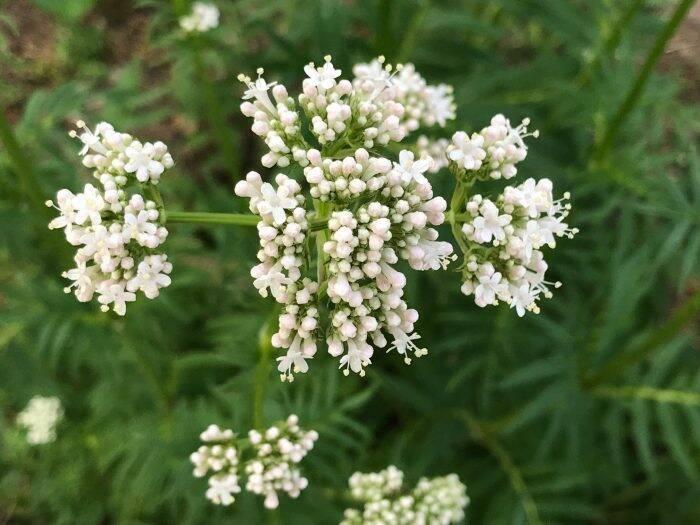 floare-de-valeriana