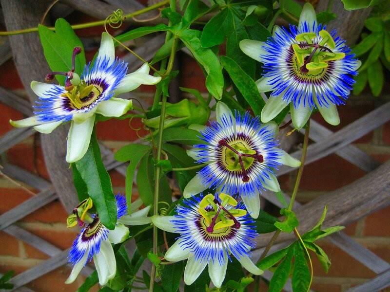 floarea-pasiunii-planta