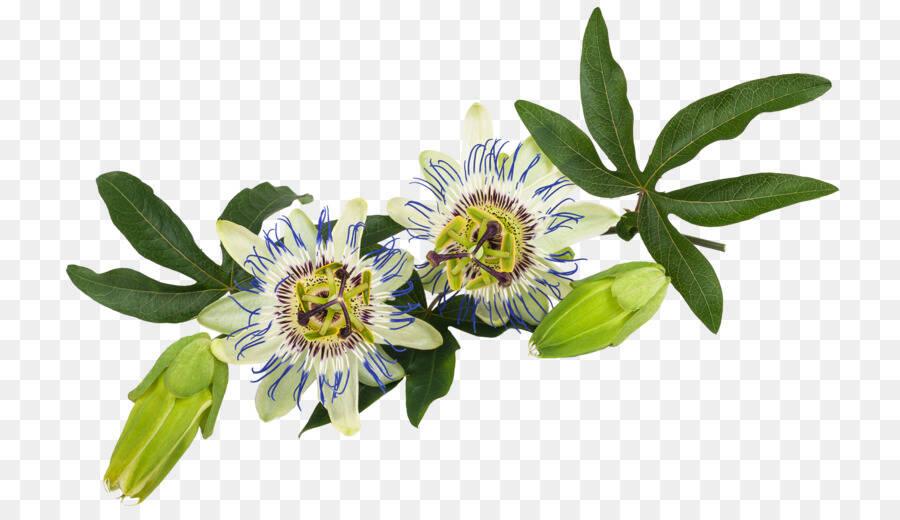 floarea-pasiunii-poza