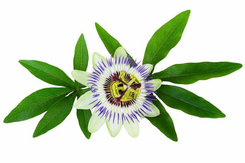 floarea-pasiunii