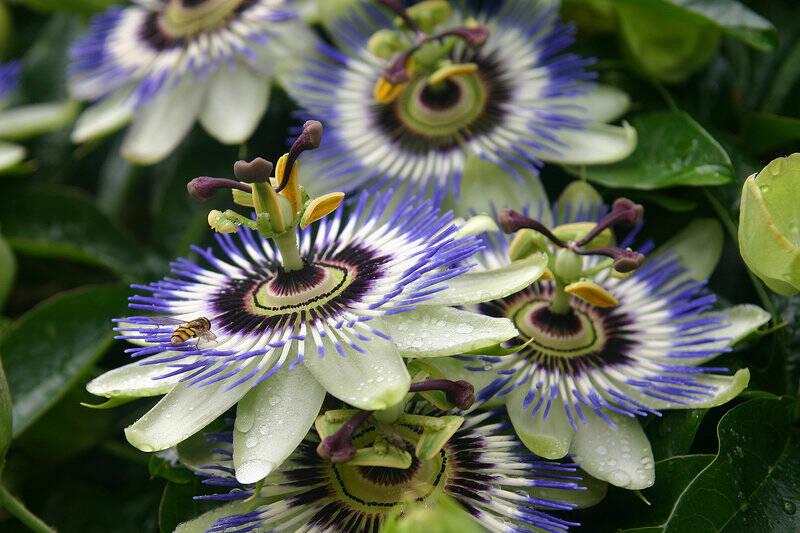 flori-de-floarea-pasiunii