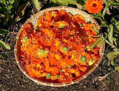 flori-de-galbenele-recoltate