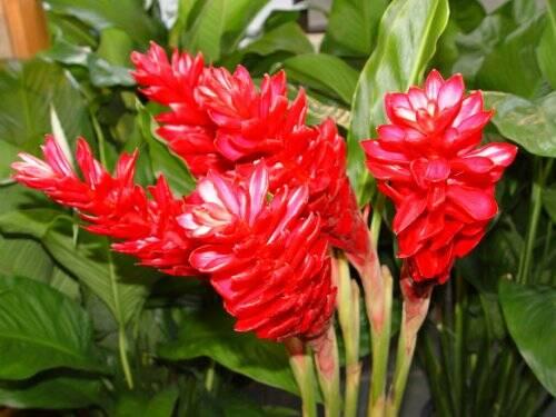 flori-de-ghimbir
