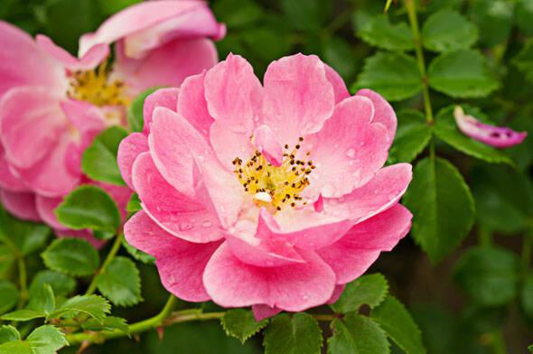 flori-de-macese