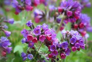 flori-de-tataneasa