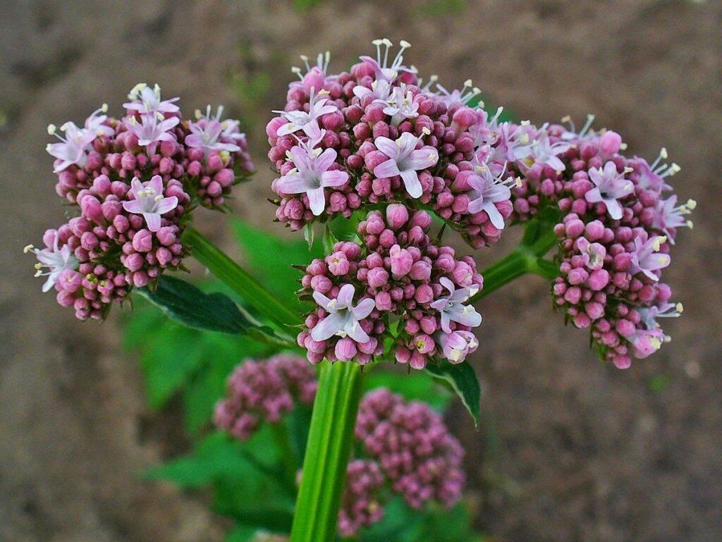 flori-valeriana