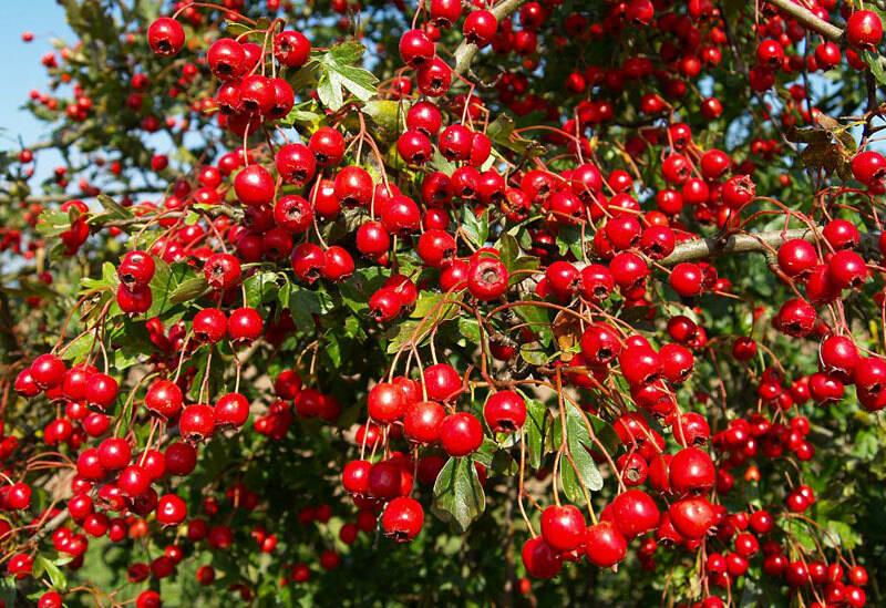 fructe-paducel