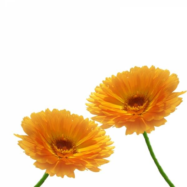 galbenele-flori