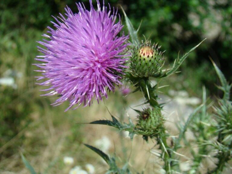 ghimpe-floare