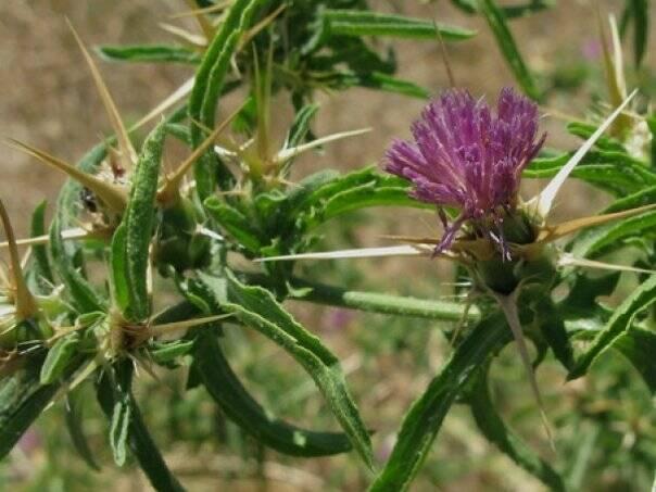 ghimpe-planta