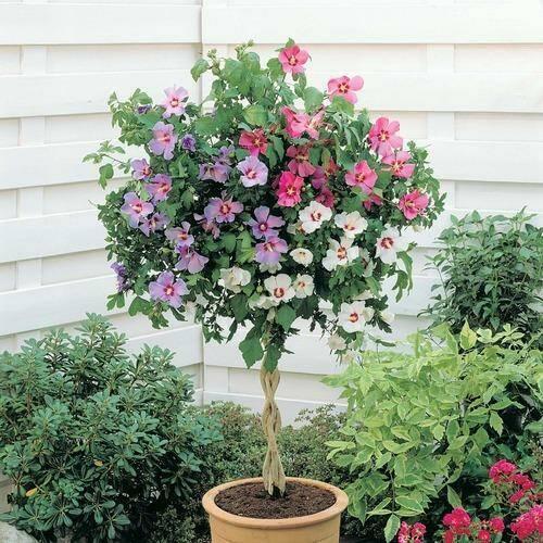 hibiscus-arbust