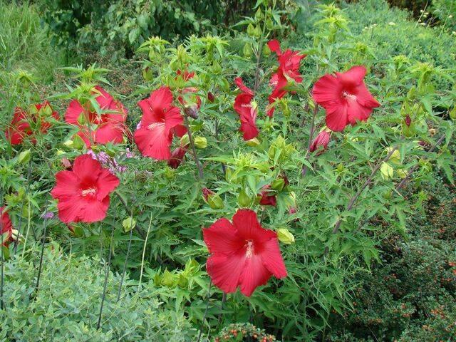 hibiscus-planta