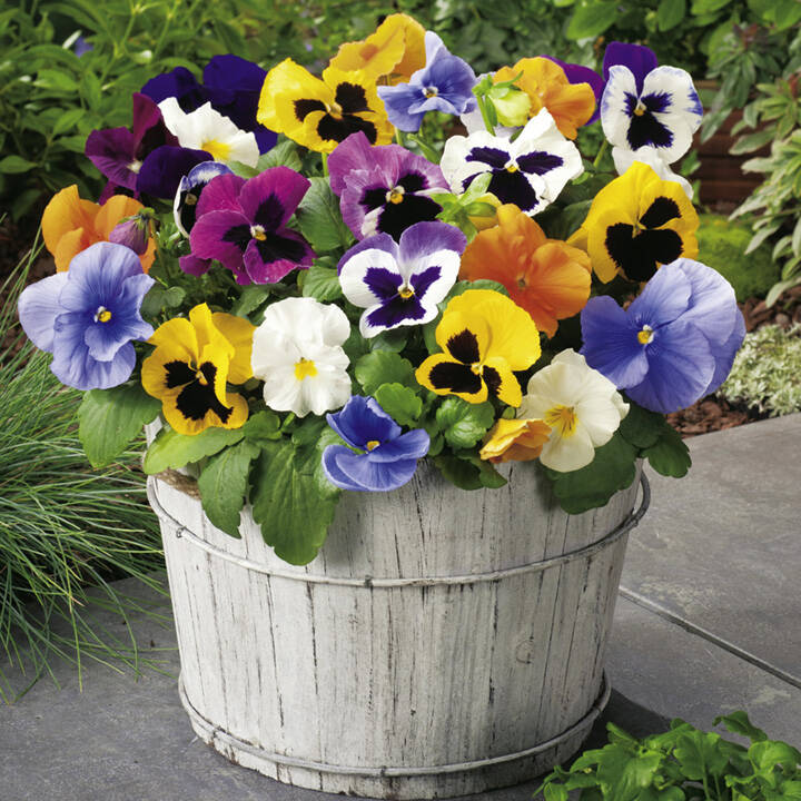 panselute-flori