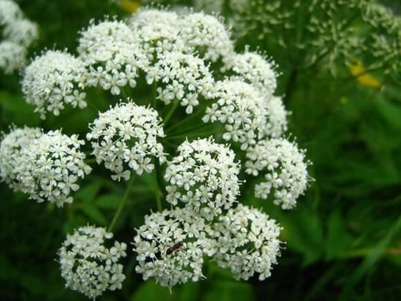 planta-angelica-inflorita