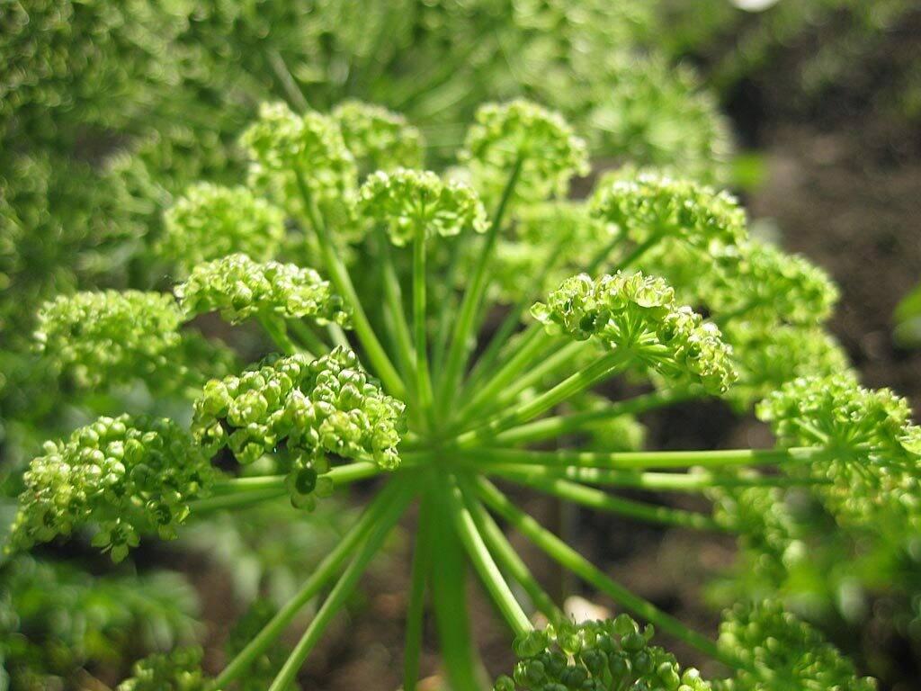 planta-angelica-verde