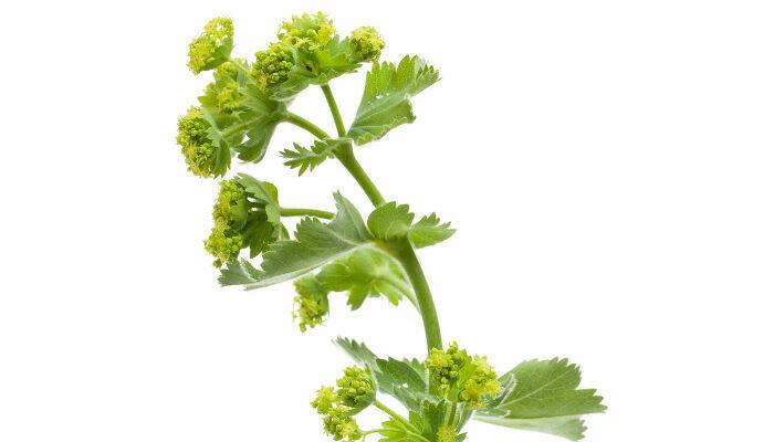 planta-cretisoara