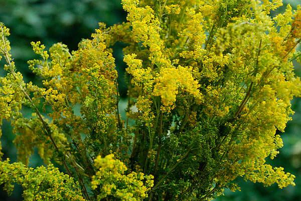 sinziene-galbene-planta